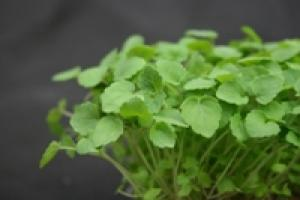Microvegetales Koppert Cress